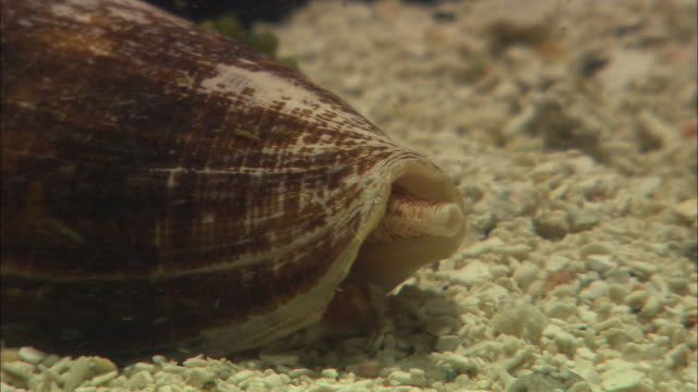 a cone snail rests on the ocean floor. - animal shell stock videos & royalty-free footage