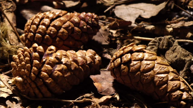 cone (time lapse) - pinecone stock videos & royalty-free footage