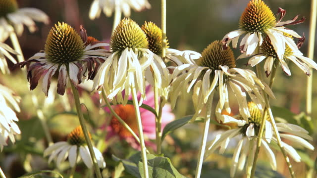 cu coneflowers in a garden / stowe, vermont, united states - stowe vermont stock videos & royalty-free footage