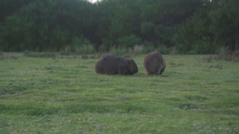 a confrontation between two common wombats (vombatus ursinus) - 有袋類点の映像素材/bロール