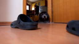 Confused black poodle