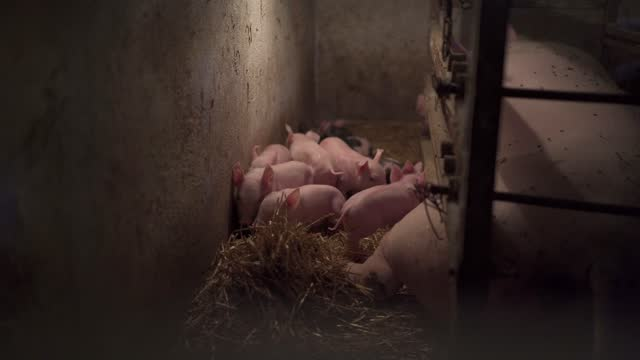 confused newborn piglets exploring pig barn at the farm - serbia stock videos & royalty-free footage