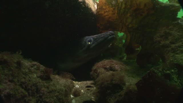 vídeos de stock e filmes b-roll de conger eel (conger conger). arran. underwater, north atlantic - labro