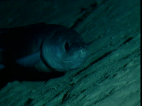 Conger eel slowly swims towards camera over sea bed, Cayman Islands