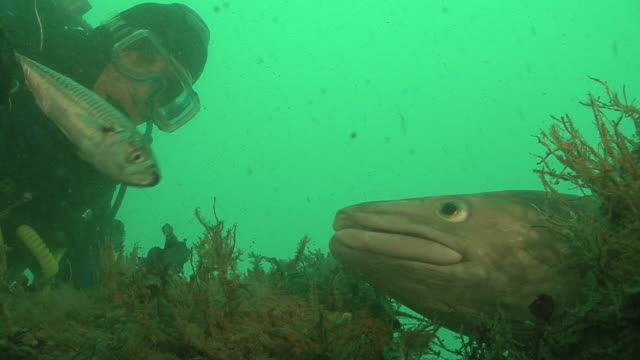 conger (conger conger) hand feeding, english channel. uk - meeraal gattung conger stock-videos und b-roll-filmmaterial