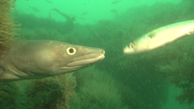 conger (conger conger)hand feeding, english channel. uk - meeraal gattung conger stock-videos und b-roll-filmmaterial