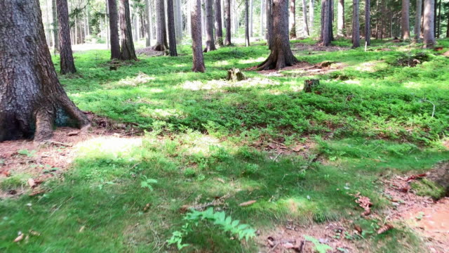 conifer forest - pinaceae stock videos & royalty-free footage