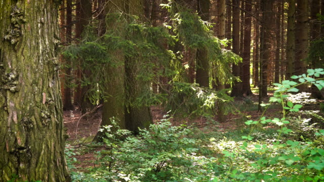 conifer forest - spruce stock videos & royalty-free footage