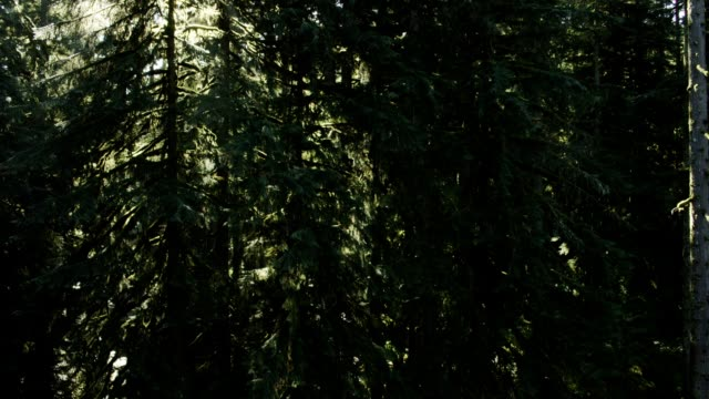 conifer forest - douglas fir stock videos and b-roll footage