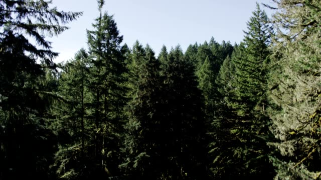 conifer forest - fatcamera stock videos and b-roll footage
