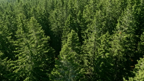 aerial conifer trees on a sunny day - pine woodland stock videos & royalty-free footage
