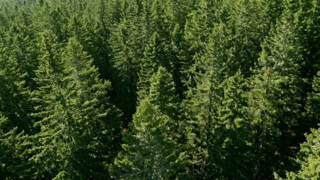 aerial conifer trees on a sunny day - pine tree stock videos & royalty-free footage
