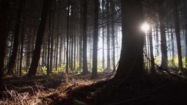 夜明け coniferous 森林 - 逆光点の映像素材/bロール
