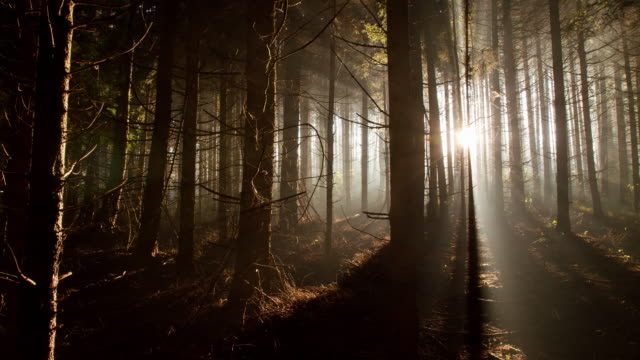t/l coniferous forest at dawn - sunbeam stock videos & royalty-free footage