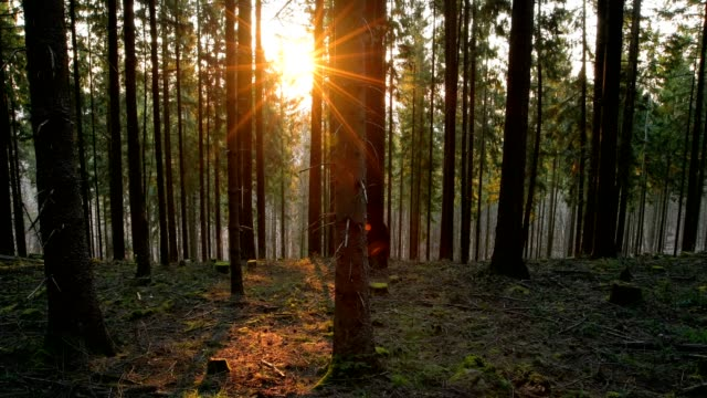 coniferous forest at sunrise in spring, mönchberg, miltenberg, spessart, bavaria, germany - spruce stock videos & royalty-free footage