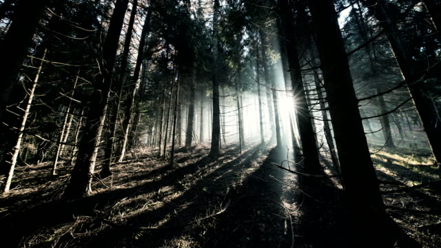 t/l 8k coniferous forest at sunrise - woodland stock videos & royalty-free footage