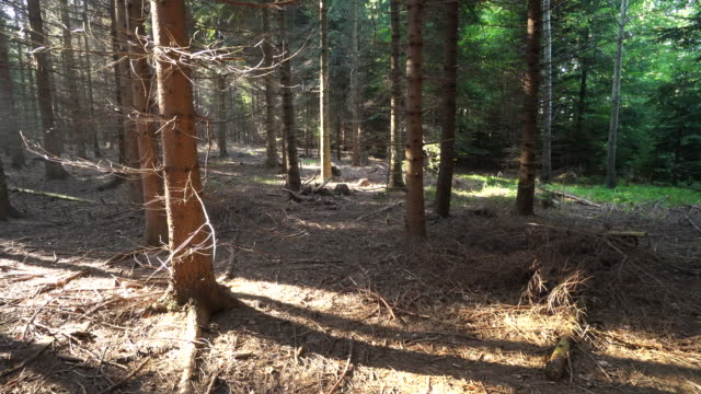 coniferous forest autumn - spruce stock videos & royalty-free footage