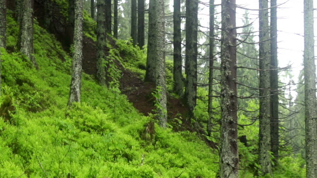 Coniferous forest growing on a hill