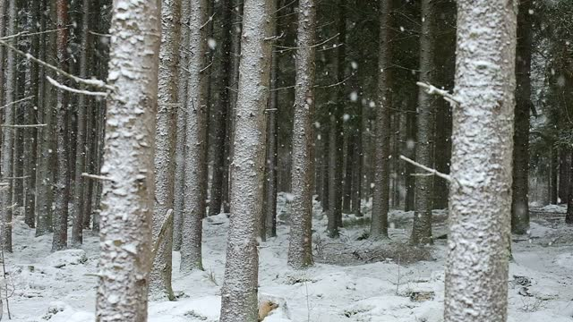 coniferous forest in snowfall in winter - spruce stock videos & royalty-free footage