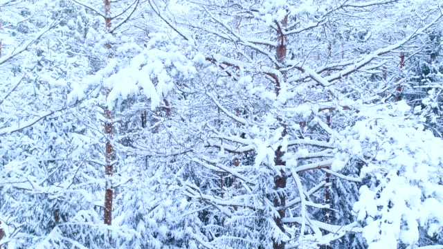 coniferous forest, its branches in the snow. - deep snow stock videos & royalty-free footage
