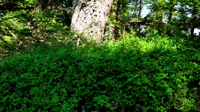 coniferous forest - pinaceae stock videos & royalty-free footage