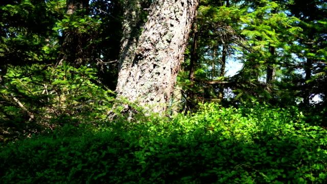 vídeos y material grabado en eventos de stock de coniferous forest - pinaceae