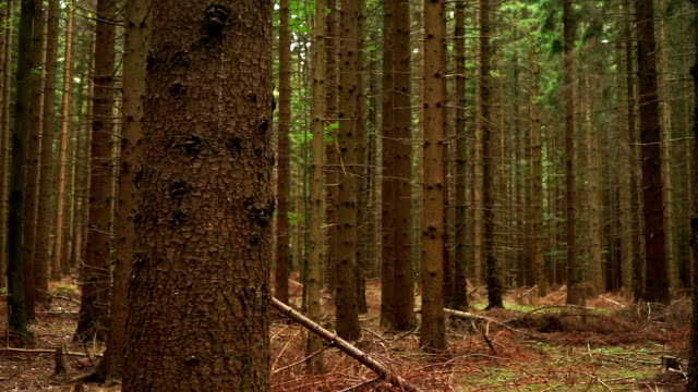 Coniferous 森林