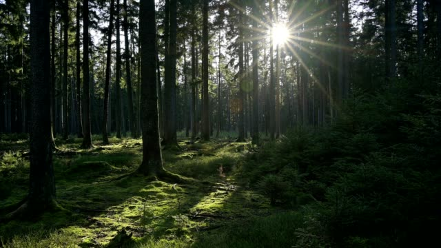 coniferous forest with sun - pinaceae stock videos & royalty-free footage
