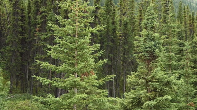 stockvideo's en b-roll-footage met slo mo ms pan coniferous trees growing in canadian rockies mountains, jasper national park, alberta, canada - jasper national park