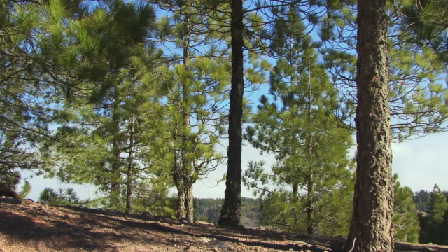 ws coniferous trees near roque nublo / gran canaria, spain - roque nublo grand canary stock videos and b-roll footage
