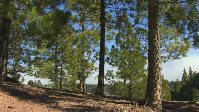 cu zo ws coniferous trees near roque nublo / gran canaria, spain - roque nublo grand canary stock videos and b-roll footage