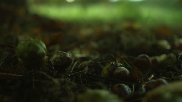 vidéos et rushes de conkers falling on ground, sharp - graine