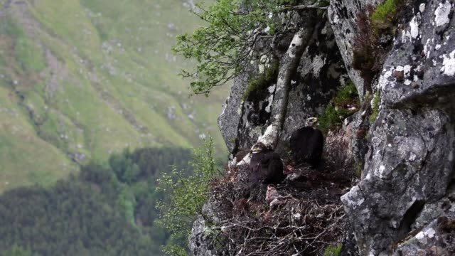 vidéos et rushes de conservationists ewan weston and justin grant attach a gps satellite tag to two seven and a half week old golden eagle chicks at a remote nest site... - aigle royal