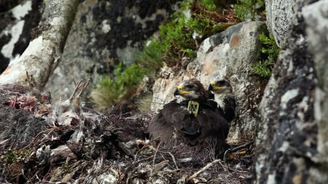 conservationists ewan weston and justin grant attach a gps satellite tag to two seven and a half week old golden eagle chicks at a remote nest site... - golden eagle stock videos & royalty-free footage