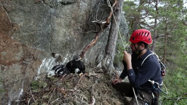conservationists ewan weston and justin grant attach a gps satellite tag to two seven and a half week old golden eagle chicks at a remote nest site... - kungsörn bildbanksvideor och videomaterial från bakom kulisserna
