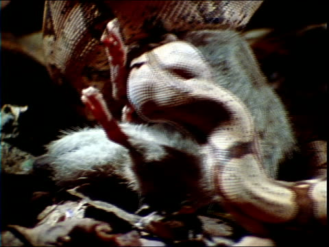 a constrictor squeezes a rat. - 殺す点の映像素材/bロール