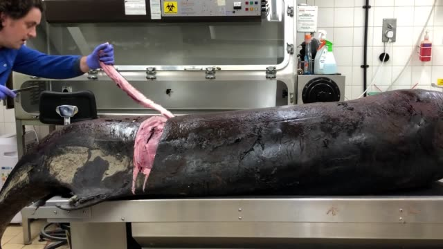 vidéos et rushes de contains graphic footage scientists at london zoo are investigating after a rare pygmy sperm whale was found washed up on pendine sands in... - autopsie
