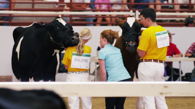 stockvideo's en b-roll-footage met contestants line up their dairy cattle at a 4h show at a state fair and wait for judge. - spelkandidaat
