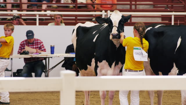 stockvideo's en b-roll-footage met contestants line up their dairy cattle at a 4h show at a state fair. - spelkandidaat