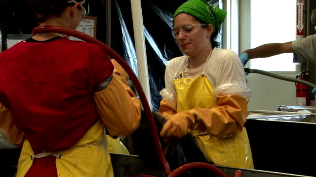 stockvideo's en b-roll-footage met bp contractors and volunteers clean pelicans oiled from the deepwater horizon oil spill they clean the birds using dawn dishwashing soap under... - bp