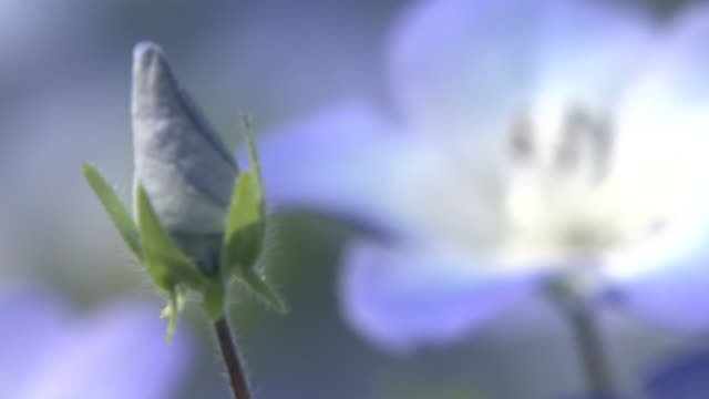 Contributor approval required for all uses http//enhitachikaihinjp/ A tiny violetblue flower and a bud sway in the wind
