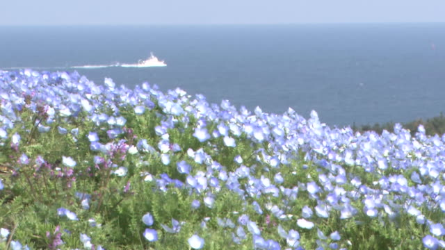 Contributor approval required for all uses http//enhitachikaihinjp/ Acervate nemophila menziesii flowers sway in the wind on a hill and a moving ship...