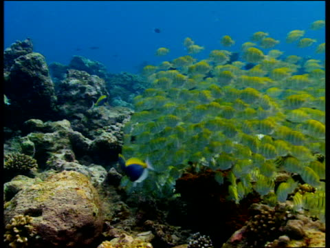 convict tang shoal graze on algae as territorial powder blue surgeonfish chase them, laccadive islands - surgeonfish stock videos and b-roll footage