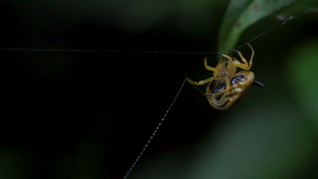 Cool African spider spinning sticky web in rainforest
