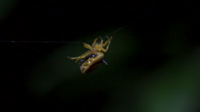 cool african spider spinning web in rainforest - arachnophobia stock videos & royalty-free footage