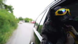 Cool black dog with sunglasses enjoying ride