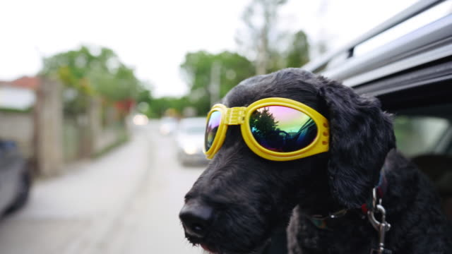 cool black dog with sunglasses enjoying ride - sunglasses stock videos & royalty-free footage