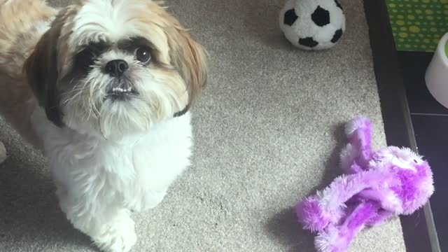 cooper has an owner who was having trouble remembering all the different names she had assigned to his toys. the innovative and adorable solution was... - リザムセントアンズ点の映像素材/bロール