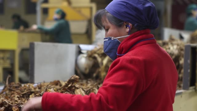 Cooperative of work in the tobacco industry During the process of cleaning and preselection of tobacco leaves
