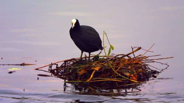 coot in its nest on water - bird's nest stock videos & royalty-free footage